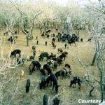Sex, Intimidation and Adaptability – The Ethology of the Wild Hog